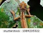 Small photo of closeup shot of Oriental garden lizard - Calotes versicolor , Garden lizard , Changeable lizard in nature