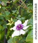 clematis florida 'sieboldii'   Shutterstock . vector #1089241868