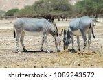 somali wild donkey  equus... | Shutterstock . vector #1089243572