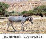 somali wild donkey  equus... | Shutterstock . vector #1089243575