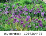 purple color ornamental onion ...