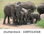 African Elephant Family With...