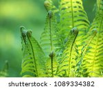 Fern Unfurling In Spring With...