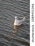 winter plumage black headed... | Shutterstock . vector #1089451346