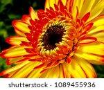 beautiful sunflower blossom | Shutterstock . vector #1089455936