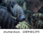red tilapia fish swimming in a... | Shutterstock . vector #1089481295