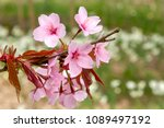 Small photo of Colourful pink and red blooms on a bush signify spring and the approaching summer in England.