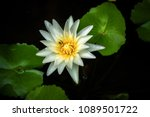 white lotus and leaves in pond. | Shutterstock . vector #1089501722