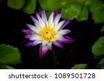 purple and white lotus with... | Shutterstock . vector #1089501728