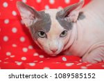 cute hairless sphinx cat | Shutterstock . vector #1089585152
