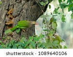 brown headed barbet on a tree... | Shutterstock . vector #1089640106