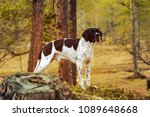 Dog English Pointer Standing In ...