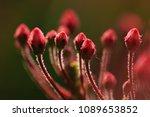 Small photo of Red Karumiya Kalmia flowers closeup with green background