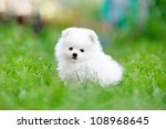 Portrait Of A White Pomeranian...