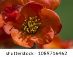 Scarlet Flower Japanese Quince...