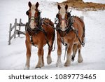 Clydesdales Running In The Snow