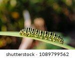 green striped caterpillar... | Shutterstock . vector #1089799562