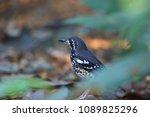 ashy thrush  geokichla cinerea  ... | Shutterstock . vector #1089825296