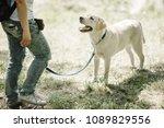 Stock photo labrador retriever dog walking in park 1089829556