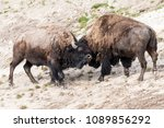 Wild Bison Sparring With Each...