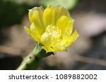 Small photo of Yellow Cactus Bloom