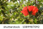 Small photo of Red Spathodea flower, is commonly known as the African tuliptree in tropical garden of Tenerife, Canary islands , Spain. Beautiful florallarge background for wallpaper or web design