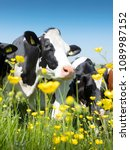 black and white cows come close ... | Shutterstock . vector #1089987152