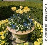 Display Of Tulips  Primrose...