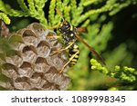 tree wasp or paper wasp on its... | Shutterstock . vector #1089998345