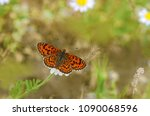 Small photo of beautiful iparhan butterfly on chamomile flower ; Melitaea trivia