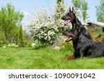 couple of big black doberman... | Shutterstock . vector #1090091042
