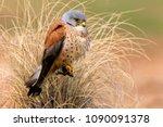 male of lesser kestrel. falco...   Shutterstock . vector #1090091378