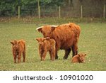 Highland Cows Just South Of...
