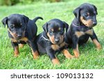 The Miniature Pinscher Puppies...
