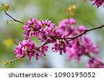 Beautiful Redbud Flower