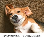 friendly beagle smiling | Shutterstock . vector #1090202186