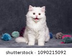 Stock photo smile face cat portrait of a cat close up white beautiful british long haired cat smiling the 1090215092