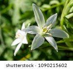 White Flower Of Ornithogalum