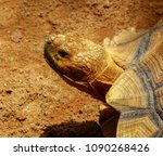 the african spurred tortoise or ... | Shutterstock . vector #1090268426