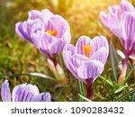 purple crocus  flowering plants ...   Shutterstock . vector #1090283432