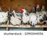 chickens in the coop. hen in a... | Shutterstock . vector #1090344056