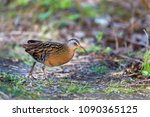 virginia rail searching for...   Shutterstock . vector #1090365125