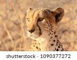 cheetah closeup portrait in... | Shutterstock . vector #1090377272