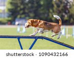 Stock photo beagle walking on dog walk in agility competition or training 1090432166