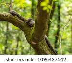 snake in tree branch  water... | Shutterstock . vector #1090437542
