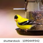 Male Gold Finch On Tube Seed...