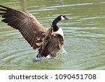 Canada Goose Waving Wings And...