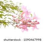 pink flowers of podranea...   Shutterstock . vector #1090467998