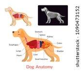 dog anatomy  internal organs ... | Shutterstock .eps vector #1090473152