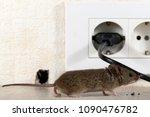 closeup mouse  mus musculus ... | Shutterstock . vector #1090476782